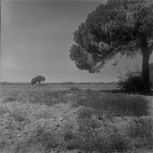two tuscan pines